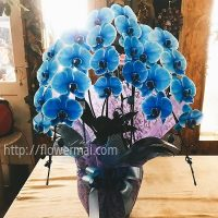 青い胡蝶蘭 ギフト 御祝