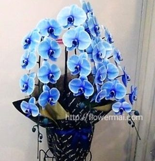 青い胡蝶蘭 フラワーアレンジ ご贈答の花