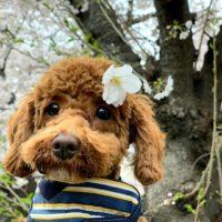 トイプードル トイプ― 桜 花